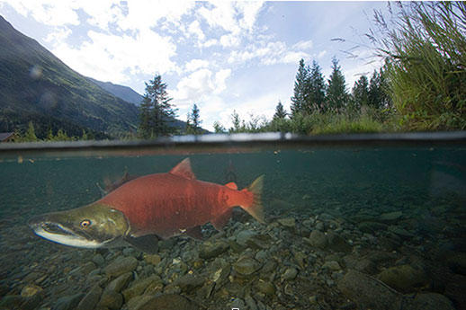 An underwater view of a salmon.