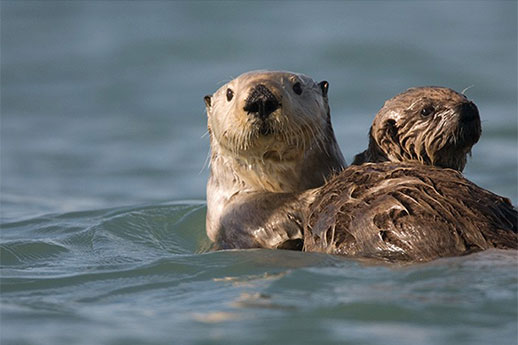 An otter and her pup swimming in clear blue water.