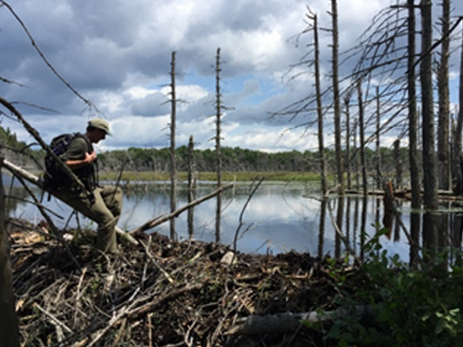 A scientist sits atop a log over a beaver lodge preparing a water sample.