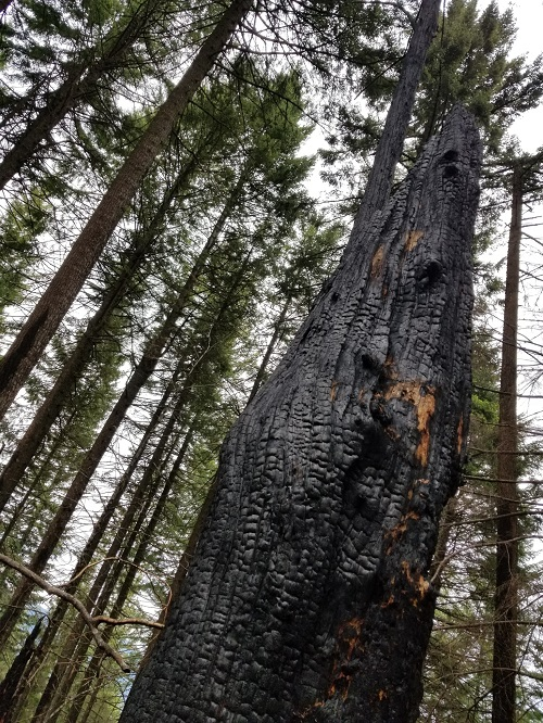 Charred tree along Mt Defiance Trail June 2018