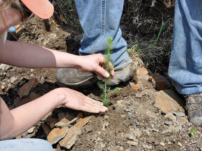A seedling of a red spruce is planted into tilled soil.