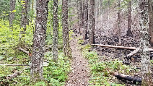 Trail meandering through the forest post wildfire.