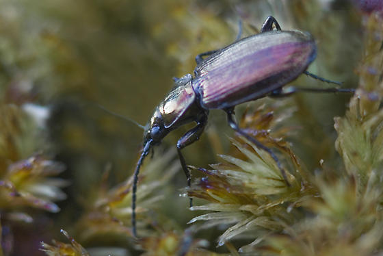 Close up of a Bellers Ground Beetle on foliage