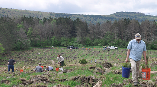 A team of volunteers plant red spruce across a tilled mountain side.