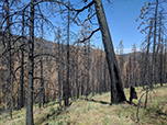 Shows many dead trees resulting from the 2017 Cove Fire