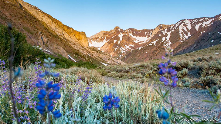 Wildflowers along the McGee Pass Trail, Inyo National Forest. Photo by Leeann Murphy.