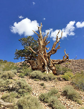 Ancient Bristlecone pine tree, Inyo National Forest. Photo by Leeann Murphy.