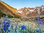 Wildflowers along the McGee Pass Trail, Inyo National Forest. Photo by Leeann Murphy