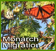 Spotlight: Monarch Migration