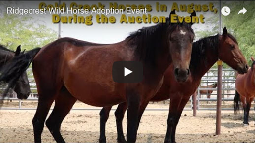 Horses waiting in a corral waiting to be adopted.