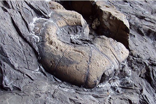 A large fossil