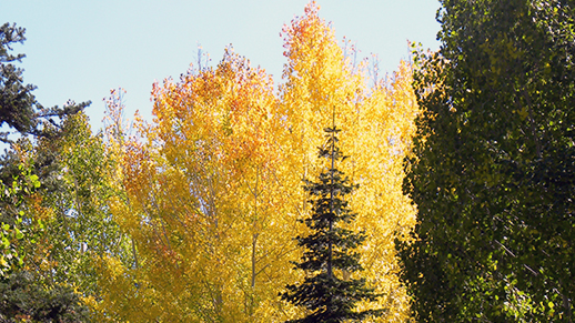 Fall colored trees mixed in with evergreens