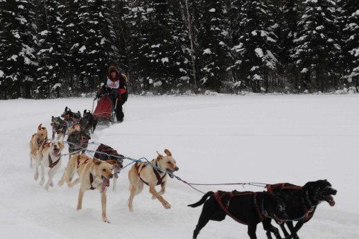 A sled dog team races through a snowy scene.
