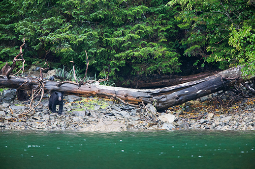 A black bear looks out from a secluded shore.