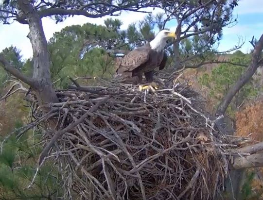 Photo of the current eagle's nest on the Kisatchie National Forest