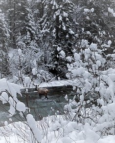 Winter scene with an elk crossing a winter stream.