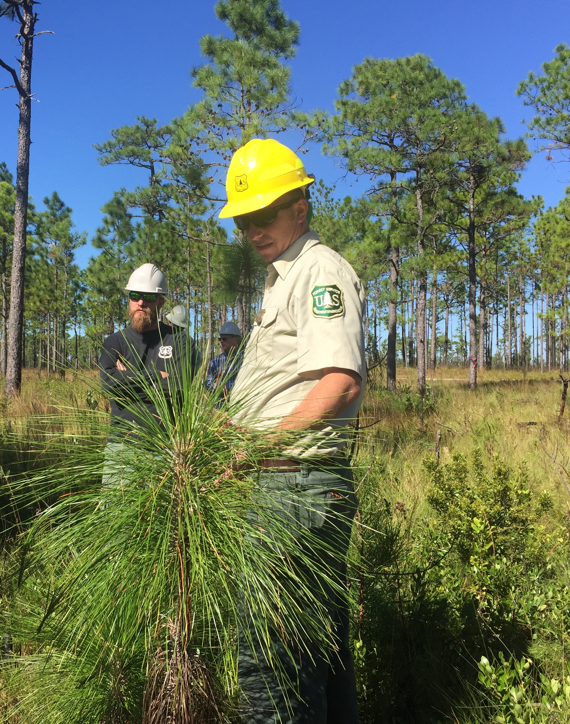 Forest Service employees stand behind young longleaf pine
