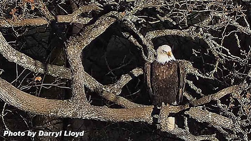 bald eagle on an oak limb waits for a spawning salmon to come along