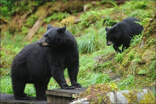 Bears at Anan Wildlife Observatory