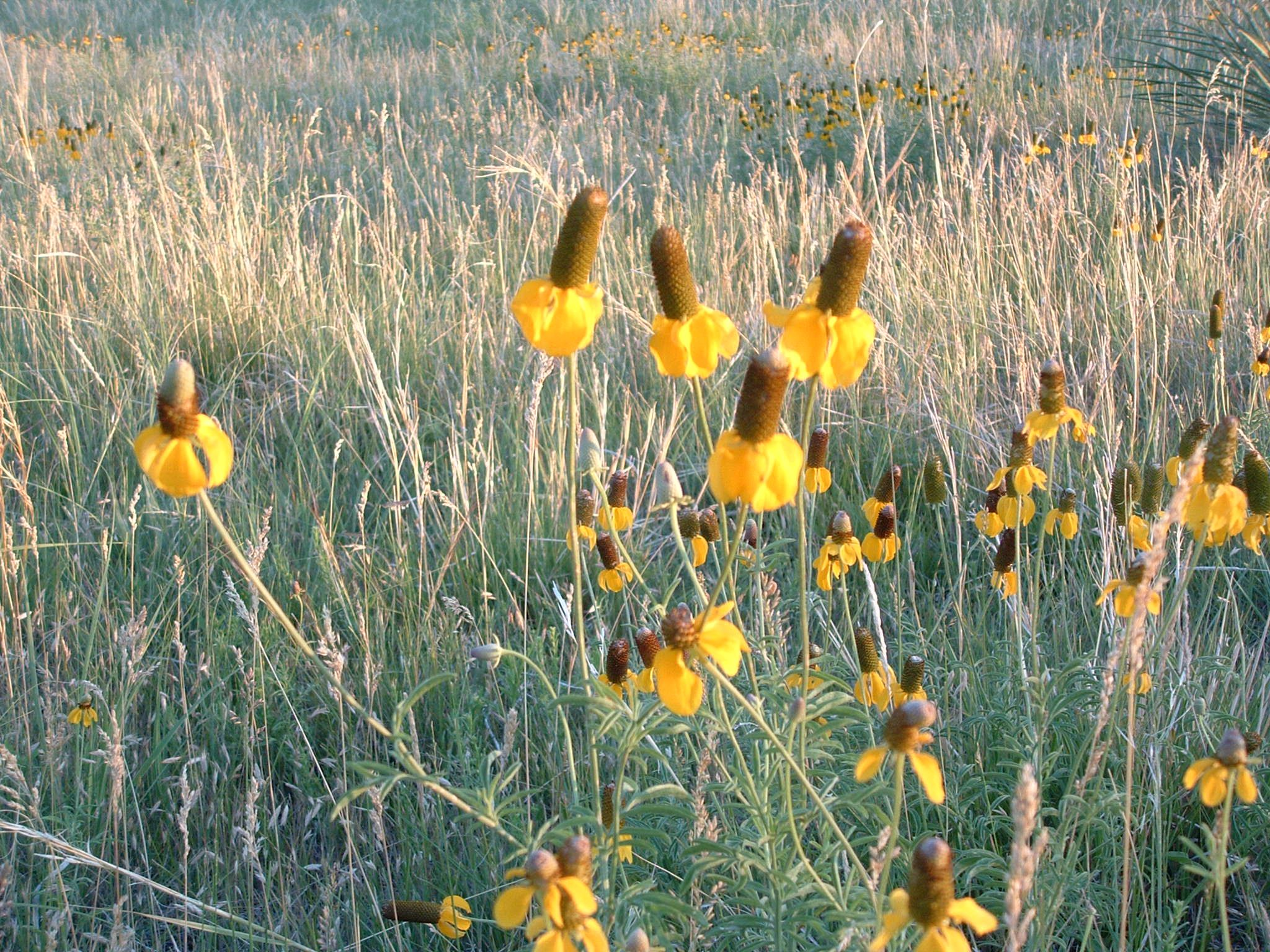 Yellow coneflowers in bloom