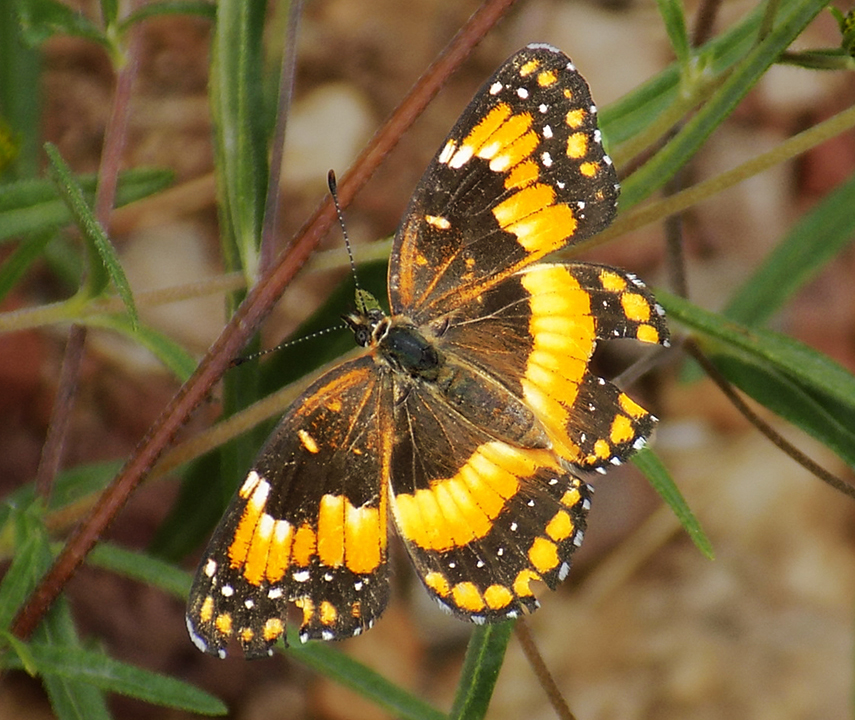 California Patch Butterfly