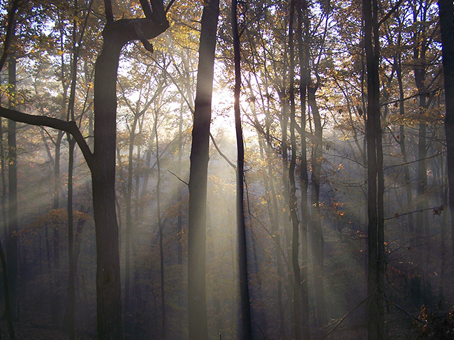 Beams of sunlight flood into the a fall forest canopy through light smoke.