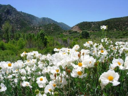 Matilija Poppies Ojai Ranger District