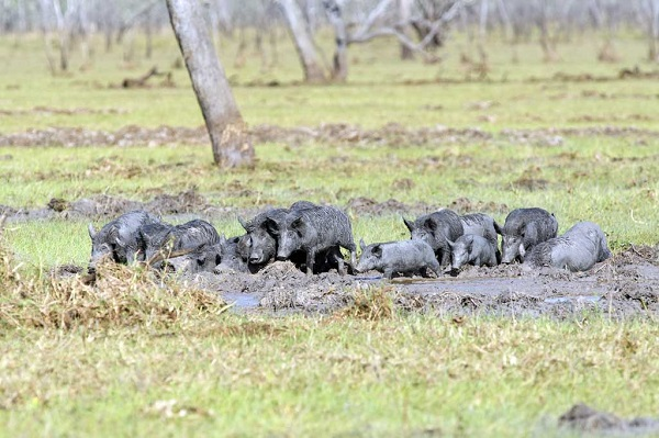 A sounder of hogs rooting and wallowing in a field, causing a muddy mess