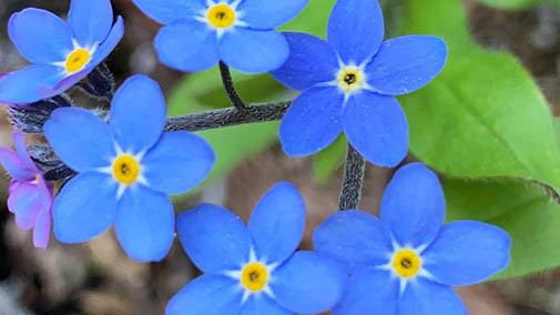 Purple forget-me-nots close-up