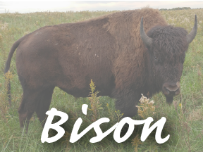 Quick Link: Bison Project