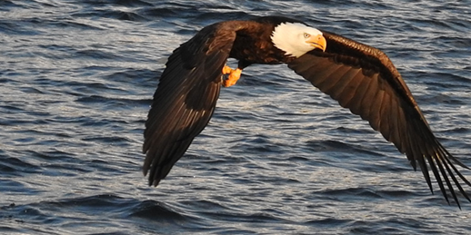 Bald eagle sores just above the water. Photo by Sue Gethen.