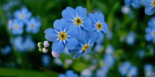 "Alaska's state flower, Myosotis alpestris, the ""Forget-Me-Not."" Photo by Erin Lehnert."