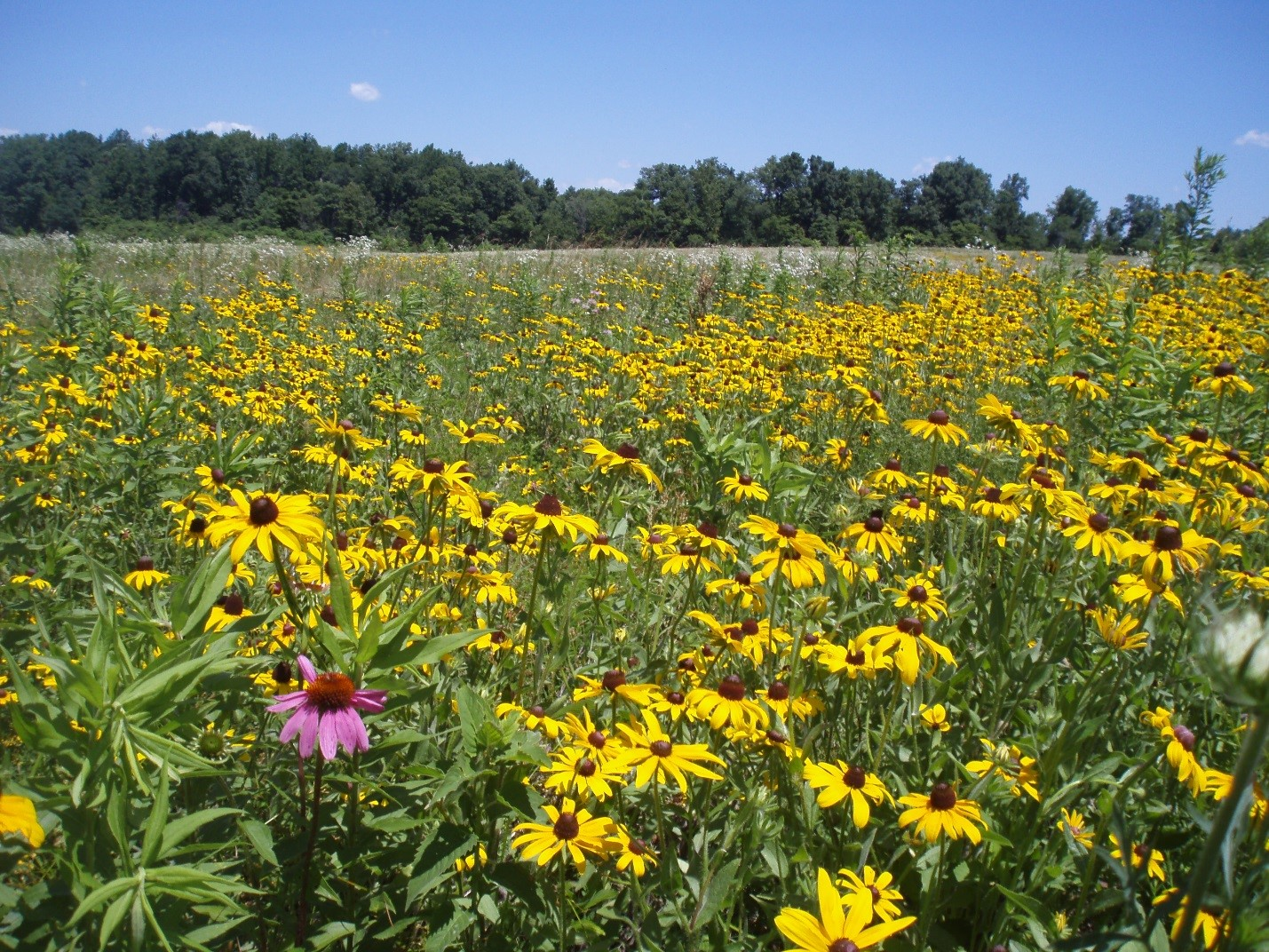 A field of black-eyed susan with birds flying above it.