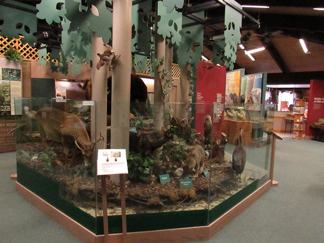 A display of taxidermy animals features local wildlife to the area.