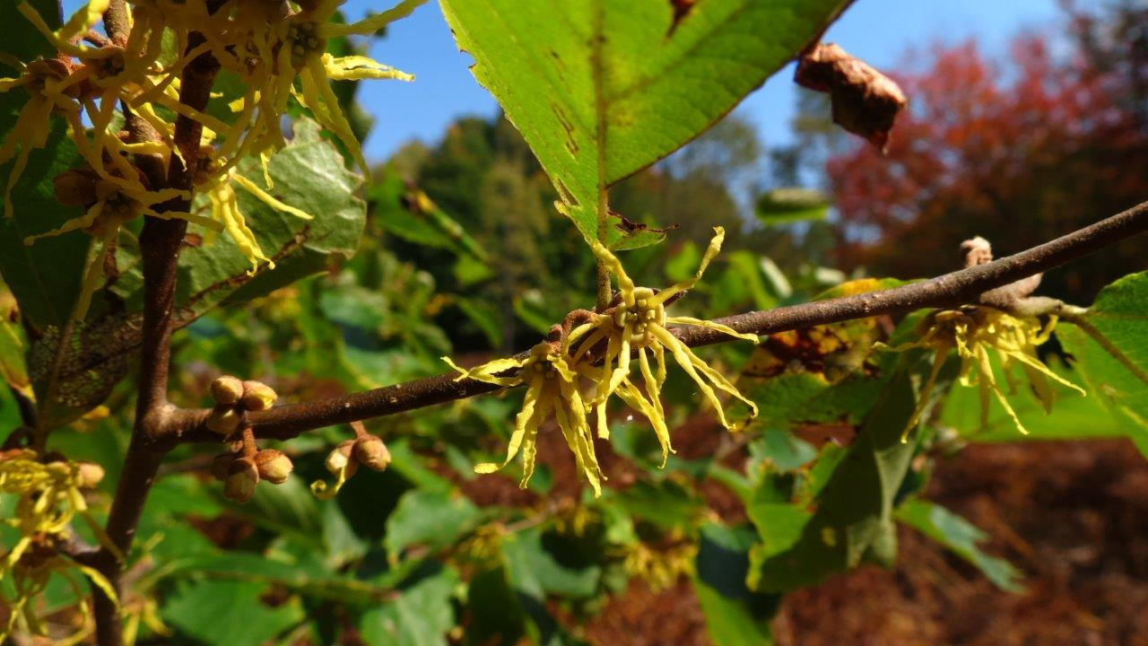 Fall Color: Witch Hazel