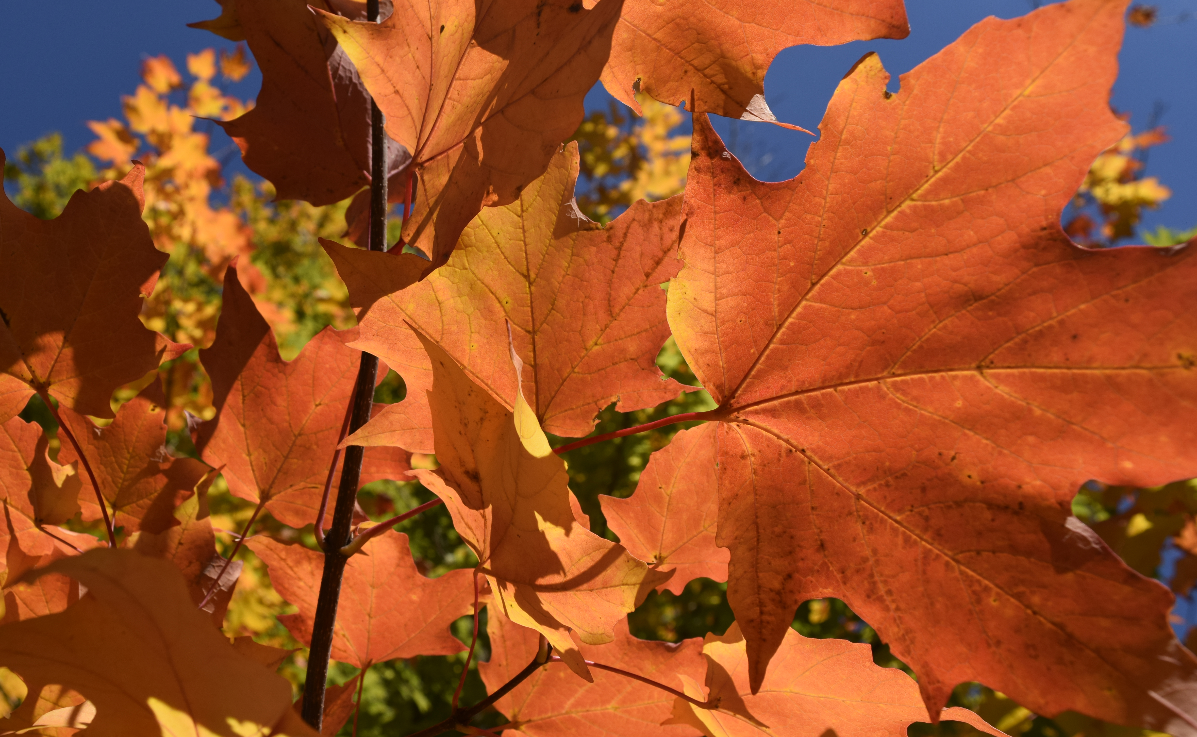 Fall Color: maple leaves