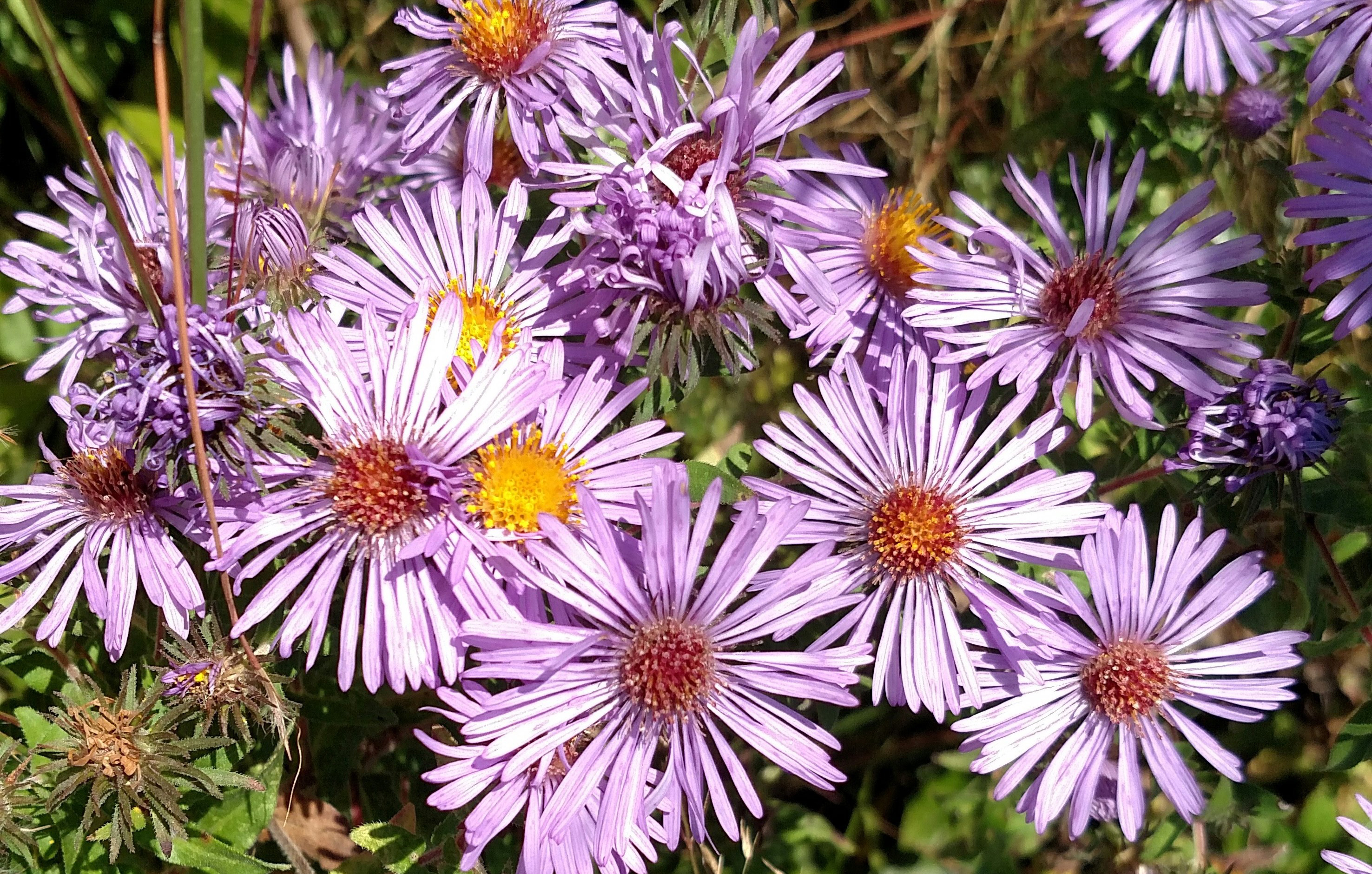Fall Color: Aster