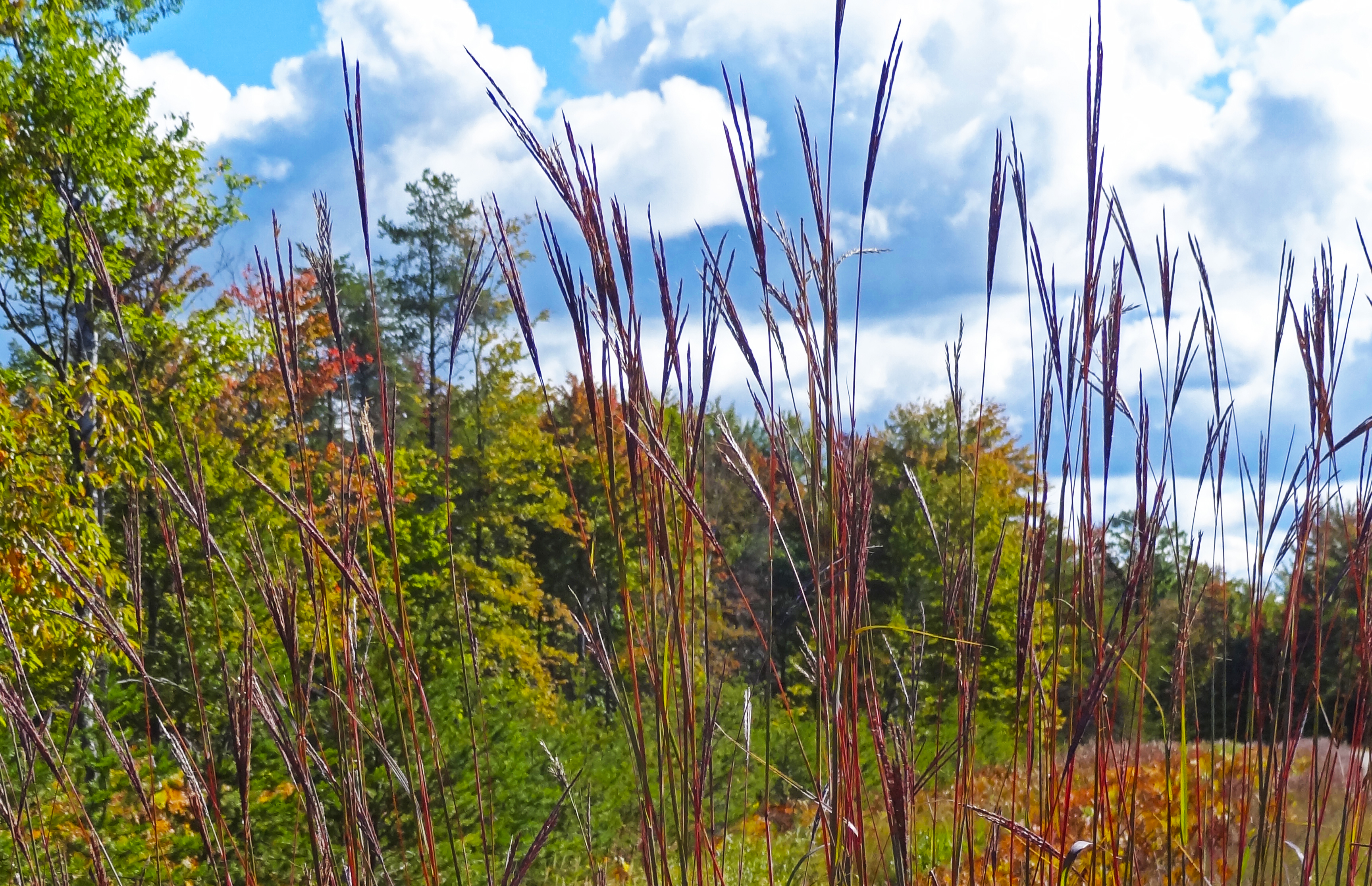 Fall Color: red grass