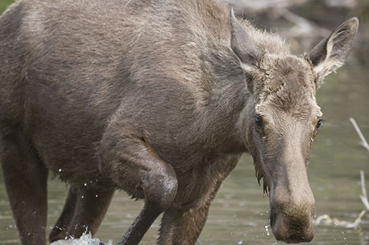 A moose wading through a pond.