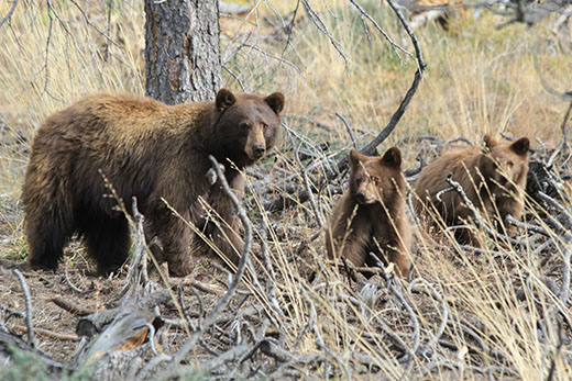 American Black Bear With Cubs Plumas Co