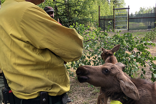 A baby moose looks up at a ranger.