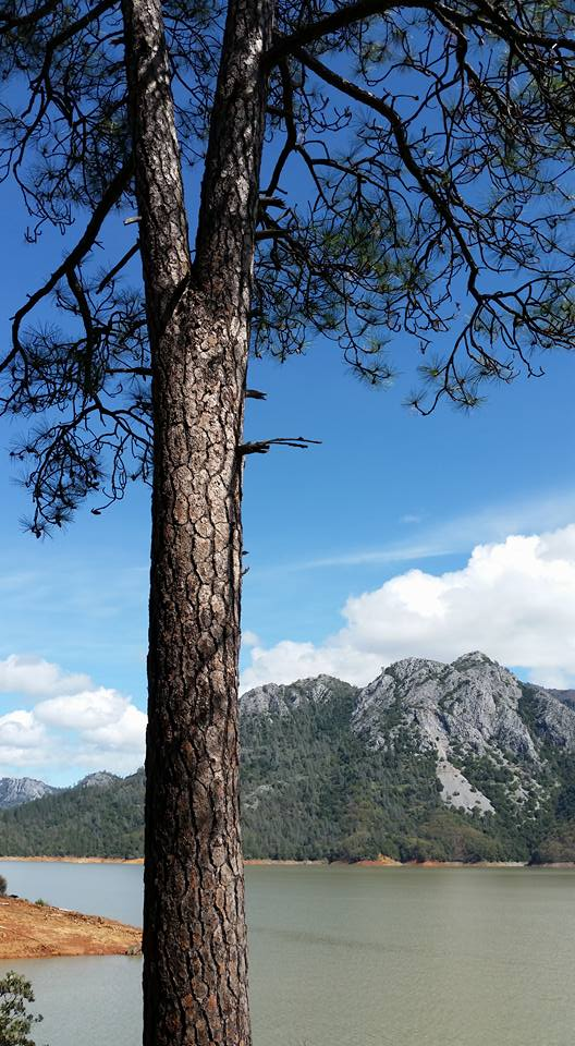 This photograph shows a large pine tree with Shasta Lake and a forested mountain in the background.