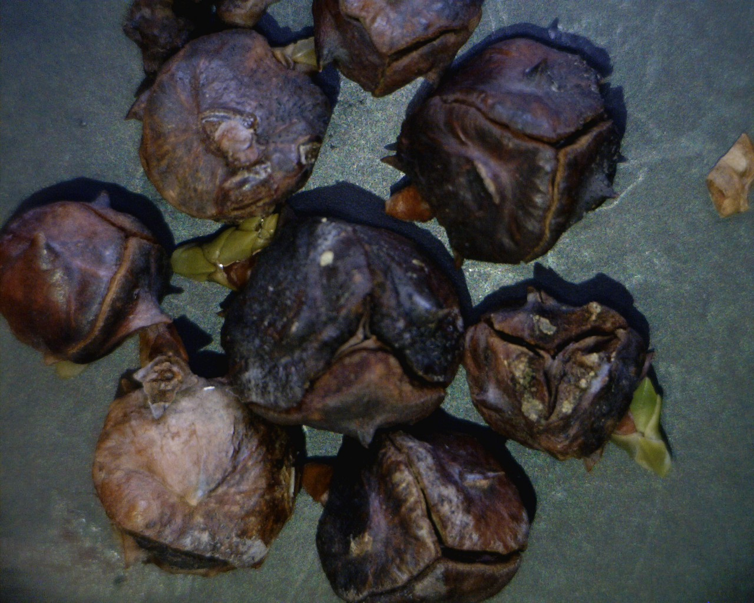 Cones infected with Kabatina thujae, which typically causes shoot blight.