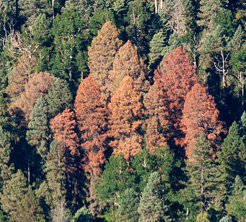 Aerial photograph of Douglas-fir beetle infected trees