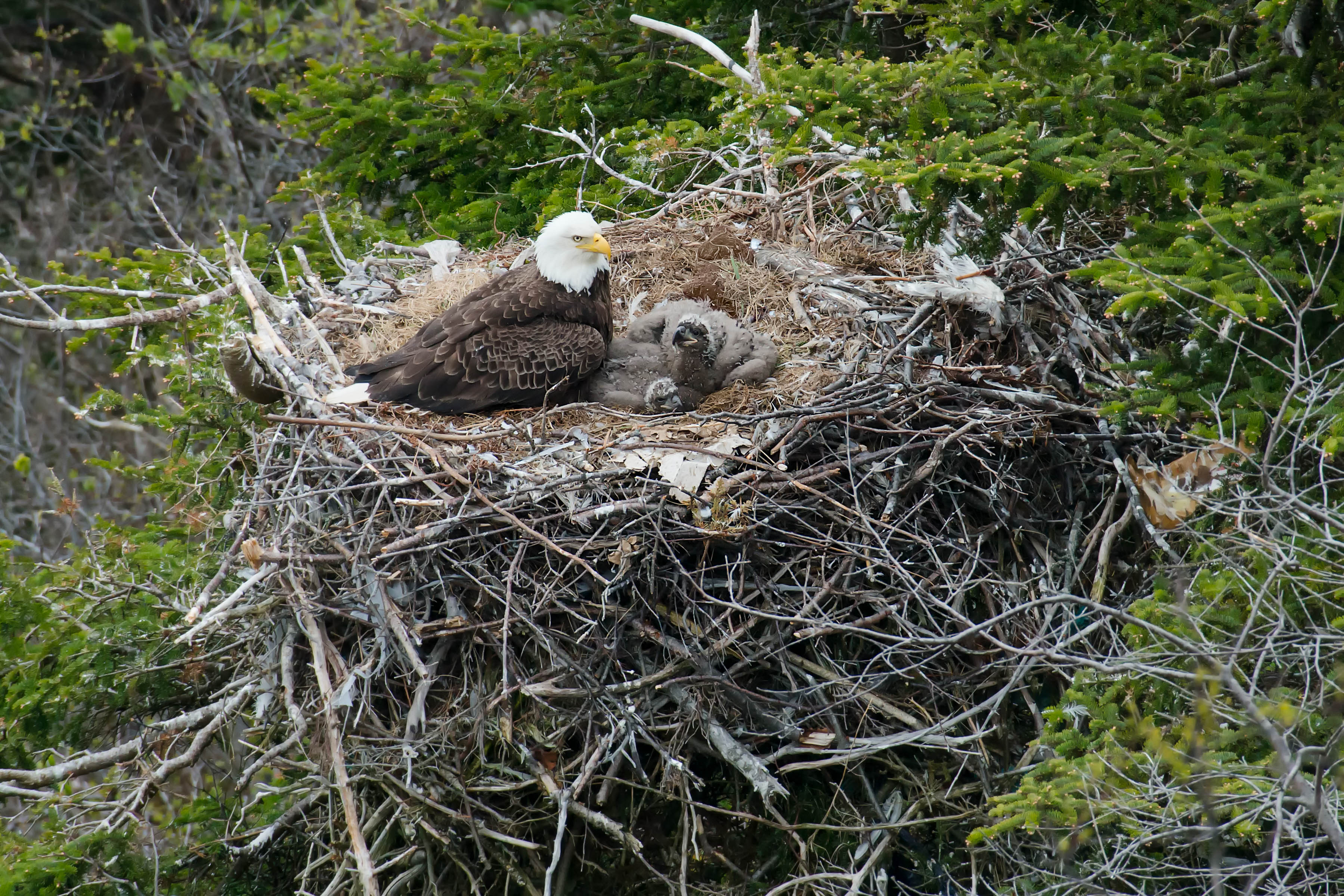 female bald eagle in nest with 3 eaglets