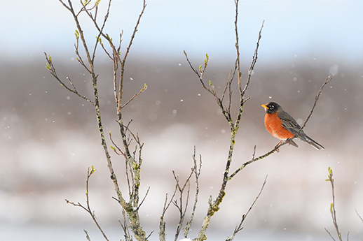 A robin sitting in a barren tree while snowflakes drift around.