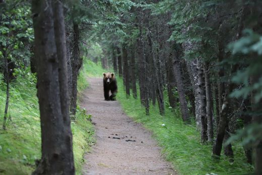 Photo of a bear walking down a trail