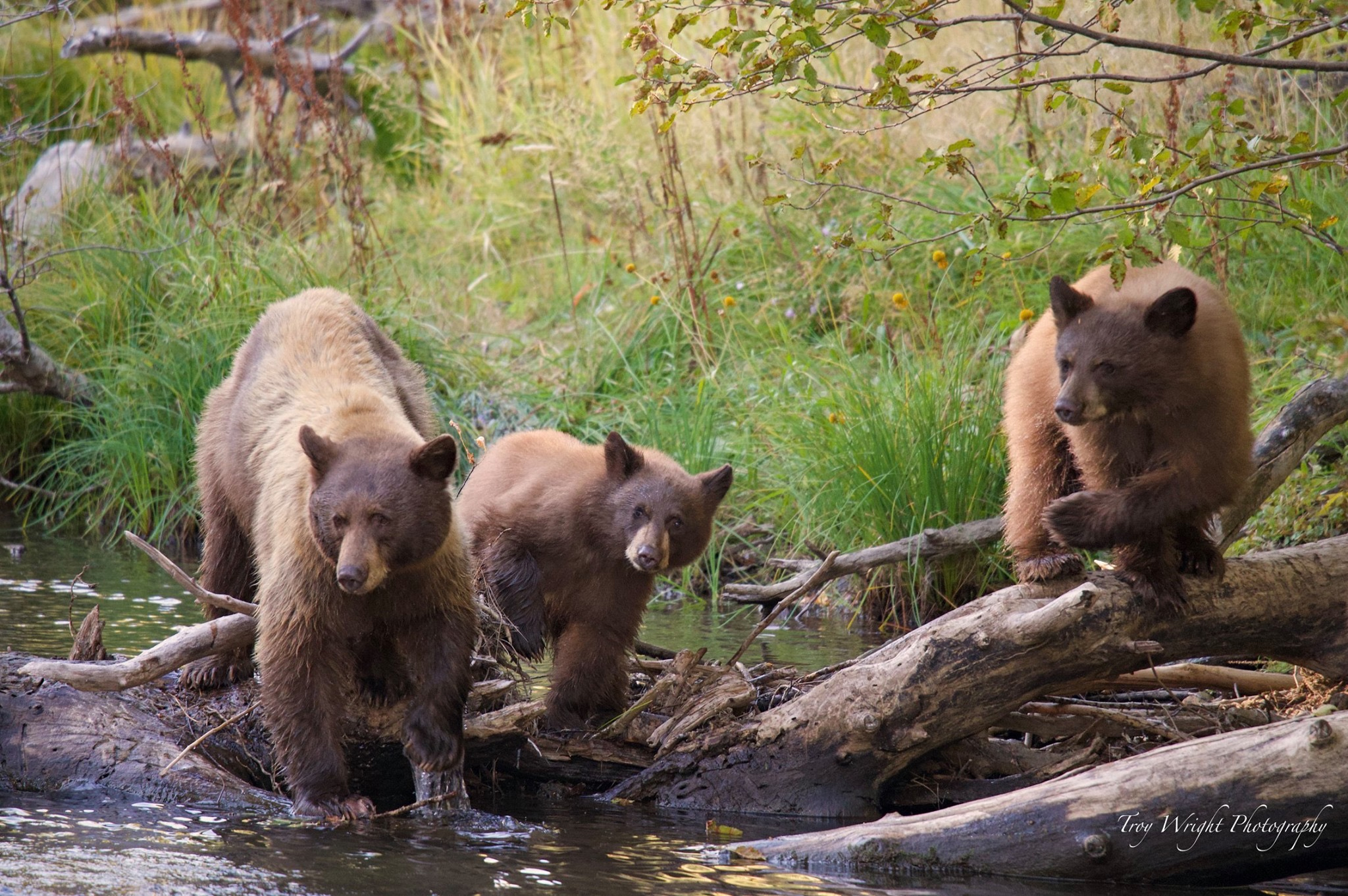 A trio of bears search for a meal at Taylor Creek in 2019.