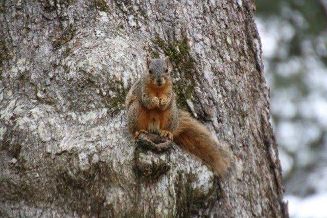 Fox Squirrel sitting in an oak tree looking at photographer
