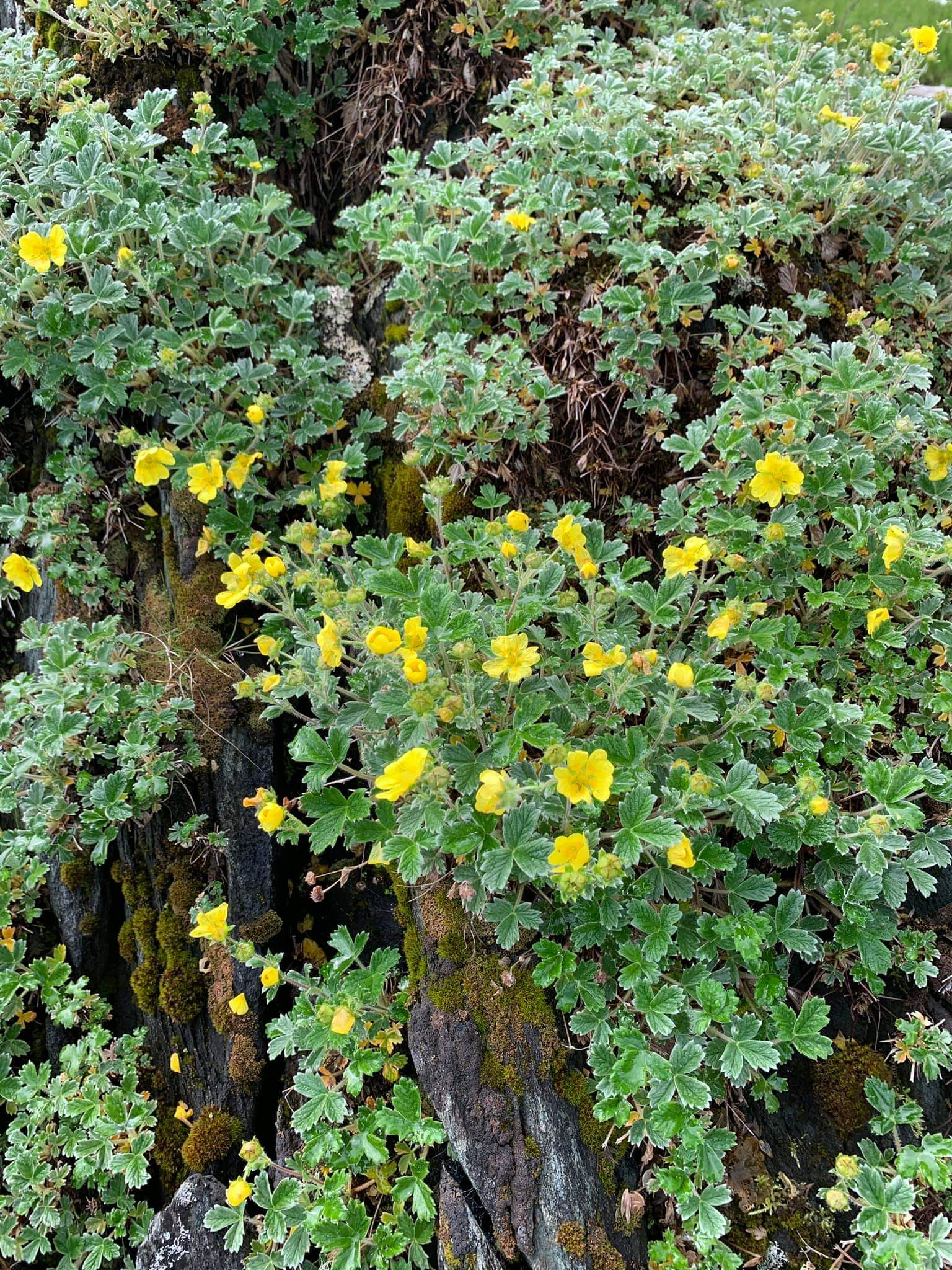 Yellow Cinquefoil by Sheila Spores Forest Management Staff Officer